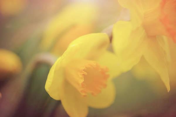 Wall Art - Photograph - Daffodil by Bill Tincher