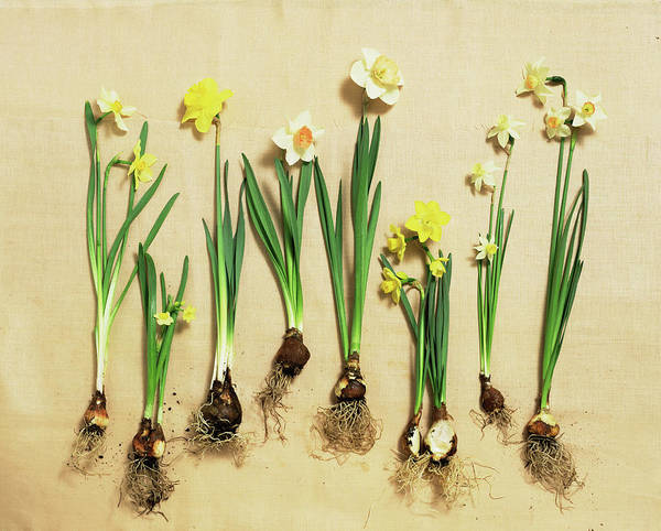 Variation Photograph - Daffodil Blooms And Bulbs by Lisa Hubbard