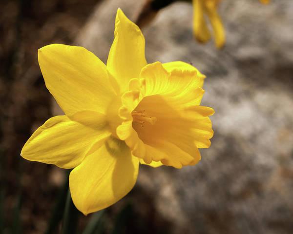 Photograph - Daffodil by Dorothy Cunningham