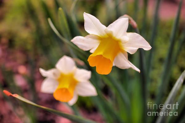 Wall Art - Photograph - Daffodil In Full Bloom by Jeff Swan