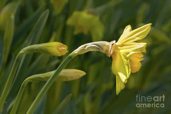 Photograph - Daffodil In Sun by Marilyn Cornwell