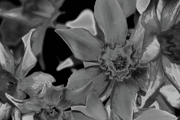 Photograph - Daffodil Nbr 10 Bw by Lesa Fine