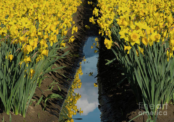 Wall Art - Photograph - Daffodil Reflections by Mike Dawson