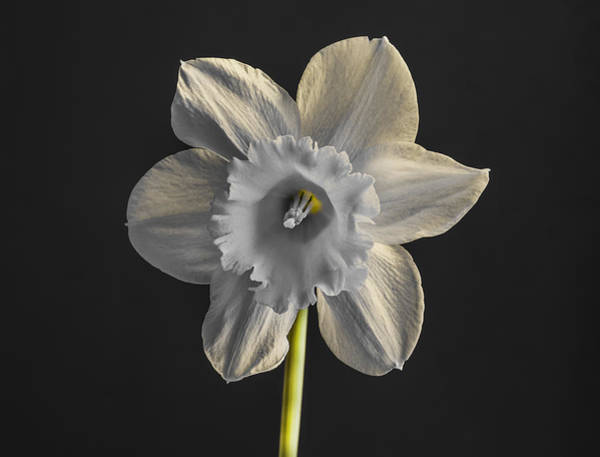 Photograph - Daffodil Selective Green by Keith Smith