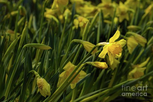 Photograph - Daffodil Starlight by Marilyn Cornwell