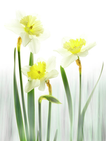 Photograph - Daffodils In A Meadow. by Usha Peddamatham