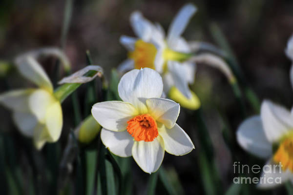 Photograph - Daffodils In The Garden by Kerri Farley