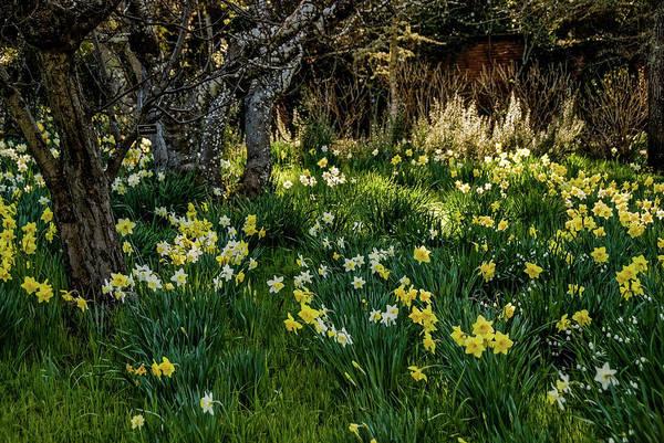 Wall Art - Photograph - Daffodils by Iris Greenwell