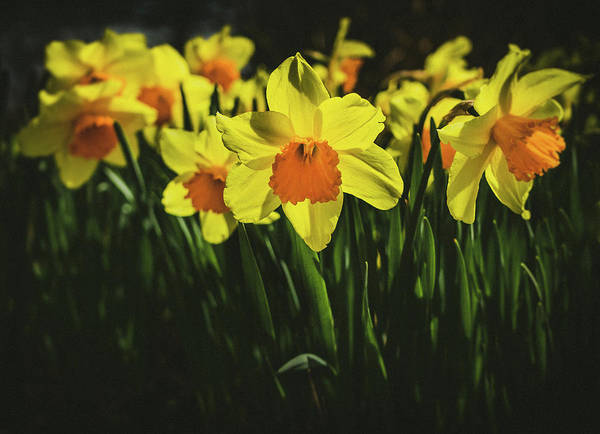 Photograph - Daffodils  by Steve Stanger