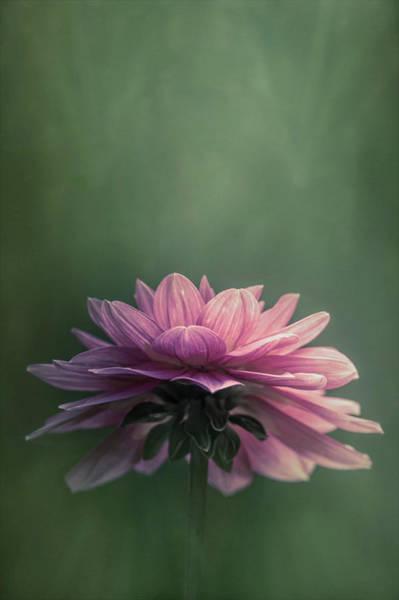 Photograph - Dahlia by Allin Sorenson
