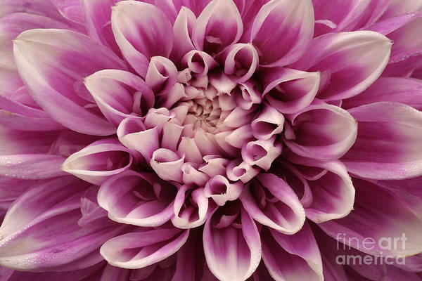 Wall Art - Photograph - Dahlia Bloemfontein Close Up by Unknown