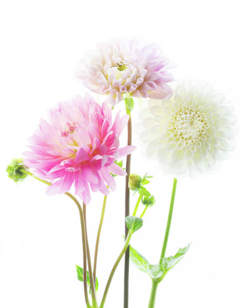 Photograph - Dahlia Bouquet by Rebecca Cozart