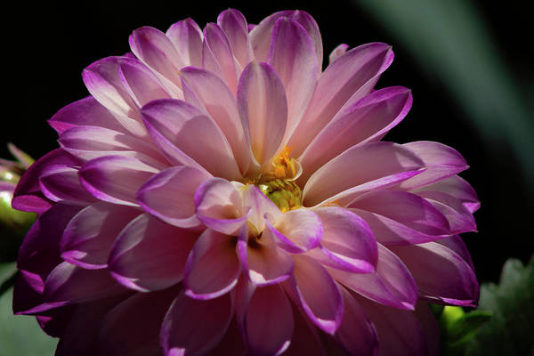 Wall Art - Photograph - Dahlia by Denise Harty
