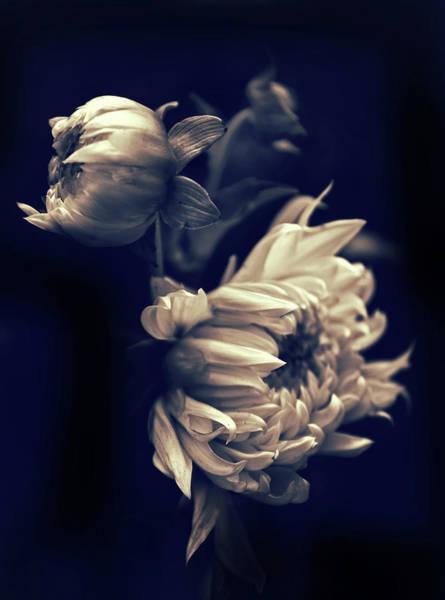 Photograph - Dahlia Duet by Jessica Jenney