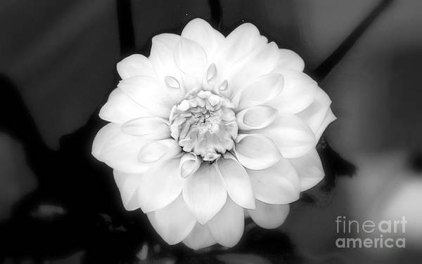 Photograph - Dahlia Formal by Patti Whitten