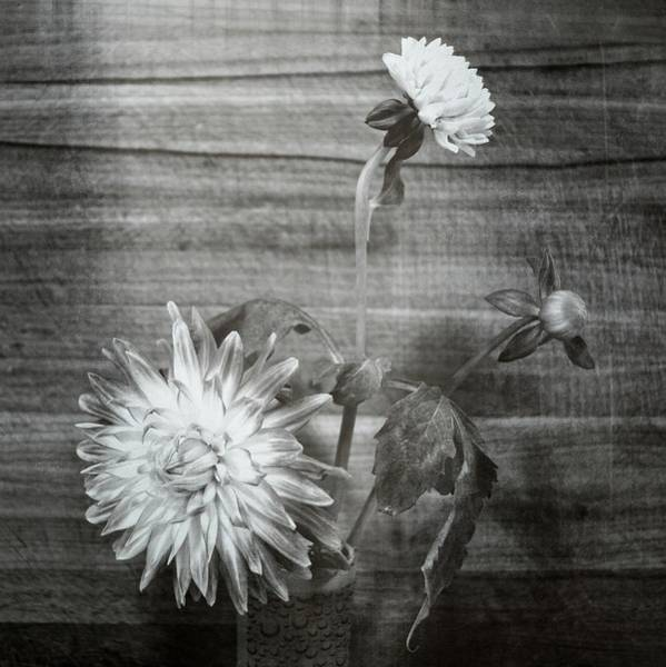 Wall Art - Photograph - Dahlia Grouping by Michelle Calkins