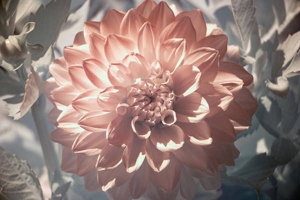 Photograph - Dahlia Infrared by Brian Hale