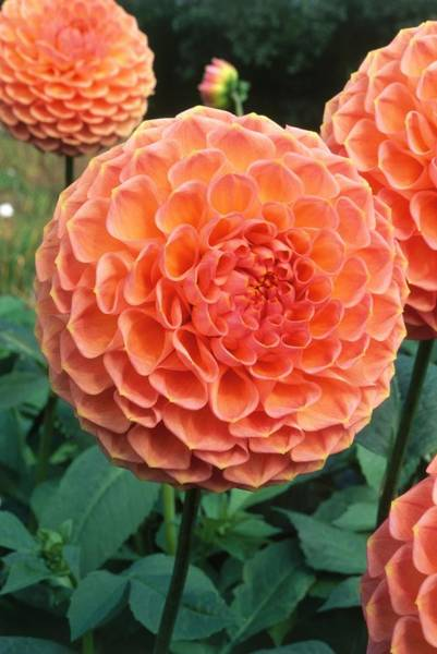 Coral Photograph - Dahlia Kathryns Cupid, Coral Coloured by Neil Fletcher