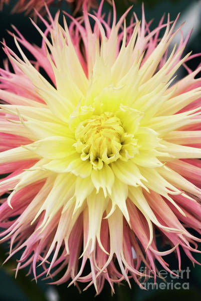 Wall Art - Photograph - Dahlia Normandie Frills Flower by Tim Gainey