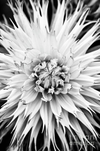 Wall Art - Photograph - Dahlia Normandie Frills Monochrome by Tim Gainey