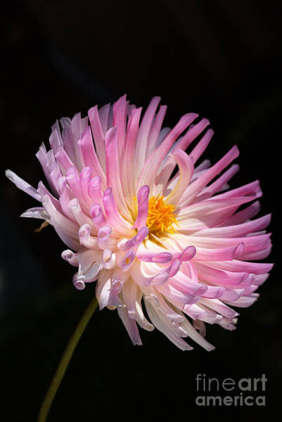 Photograph - Dahlia Of Romance by Joy Watson