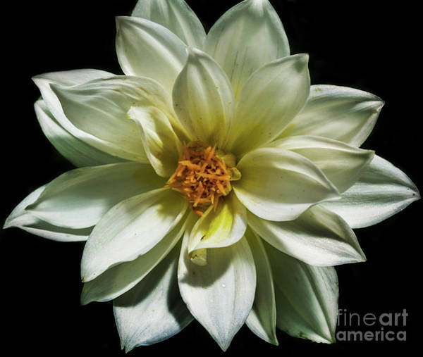 Photograph - Dahlia On Black by Tony Baca