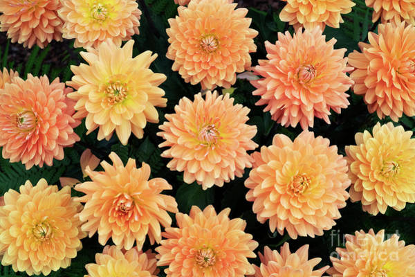 Photograph - Dahlia Renato Tosio Flowers by Tim Gainey