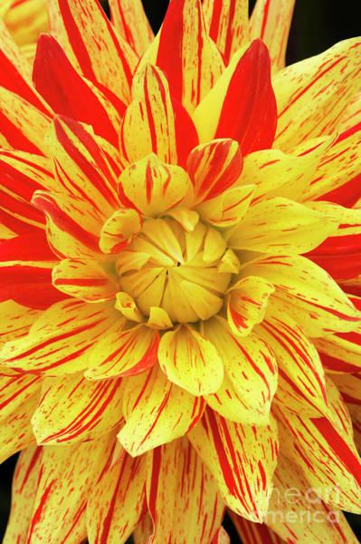 Photograph - Dahlia Striped Vulcan Flower by Tim Gainey