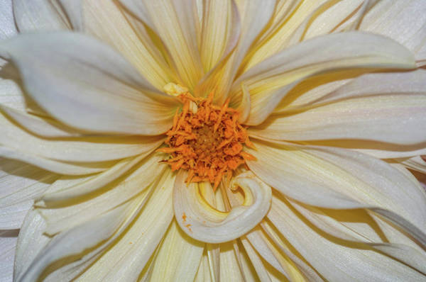Photograph - Dahlia Summertime Beauty by Claire Turner