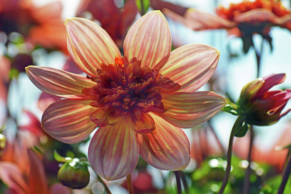 Wall Art - Photograph - Dahlia Totally Tangerine by Terence Davis