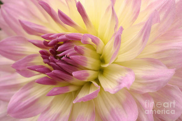 Wall Art - Photograph - Dahlia Twilight Time by Unknown