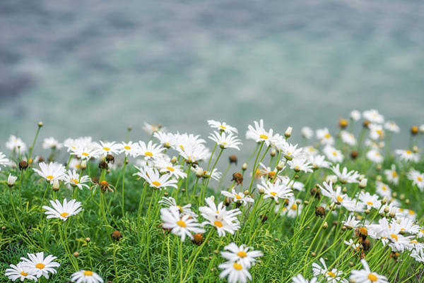 Wall Art - Photograph - Dainty Daisies Above The Sea by Joseph S Giacalone