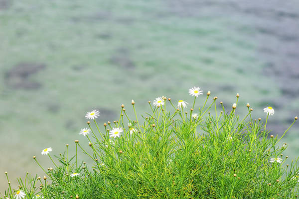 Wall Art - Photograph - Dainty Daisies By The Seaside by Joseph S Giacalone