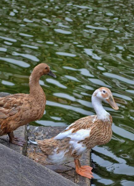 Photograph - Dainty Ducks by JAMART Photography