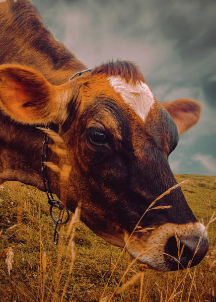 Dairy Cow Eating Grass Art Print