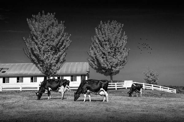 Wall Art - Photograph - Dairy Cows In A Pasture At The Country Dairy Farm In Black And W by Randall Nyhof