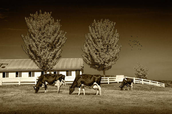 Wall Art - Photograph - Dairy Cows In A Pasture At The Country Dairy Farm In Sepia Tone by Randall Nyhof