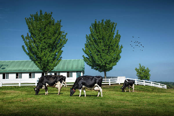Wall Art - Photograph - Dairy Cows In A Pasture At The Country Dairy Farm by Randall Nyhof