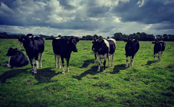 Photograph - Dairy Heifers by Samuel Pye