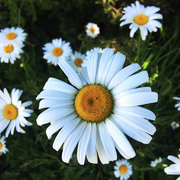 Photograph - Daisies by Anna Louise
