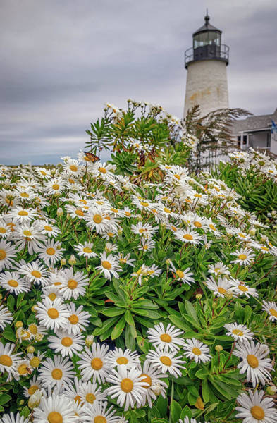 Photograph - Daisies At Pemaquid Point by Kristen Wilkinson