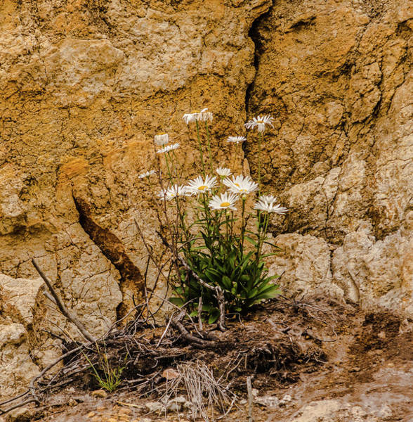 Wall Art - Photograph - Daisies Growing On An Eroding Cliff by Marv Vandehey