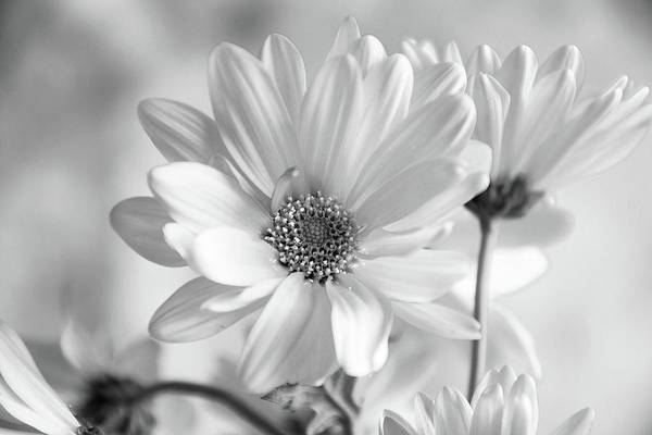 Photograph - Daisies In Black And White by Jennifer Wick
