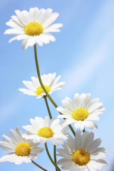 Daisy Photograph - Daisies On A Blue Sky by Aydinmutlu