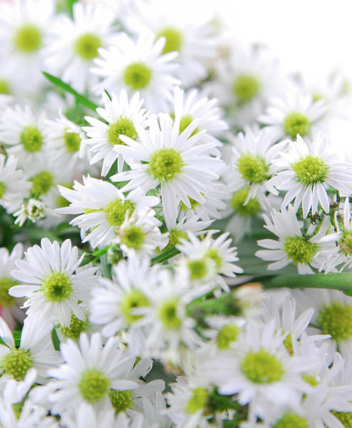 Daisy Photograph - Daisies by Thepalmer