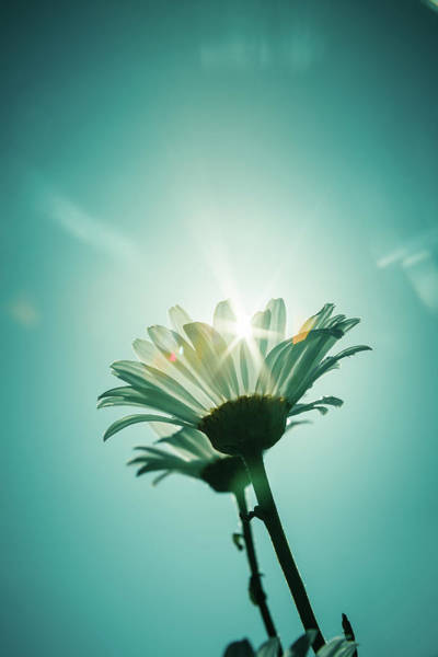Photograph - Daisy Against A Blue Sky by Jeanette Fellows