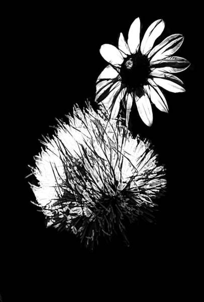 Photograph - Daisy And Thistle Black And White by Rosalie Scanlon