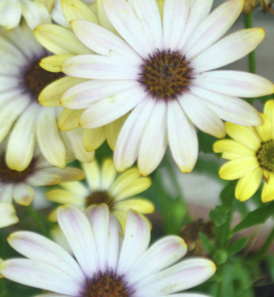 Photograph - Daisy Bell Bouquet by JAMART Photography