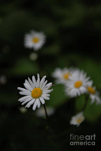Photograph - Daisy Collection Photo 1 by Jenny Potter