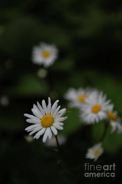 Photograph - Daisy Collection Photo 3 by Jenny Potter